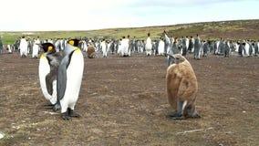 Falkland Islands, colonia de rey Penguins con el polluelo almacen de video