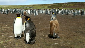 Falkland Islands, colony of King Penguins with chick stock video footage