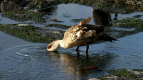 Falkland Islands, Crested Duck stock video footage