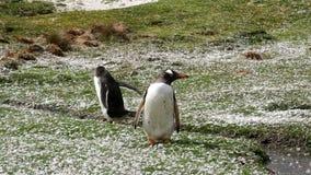 Falkland Islands, Gentoo Penguin stock video footage
