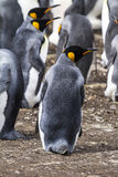 Falkland Islands - King Penguin Royalty Free Stock Photography