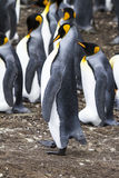 Falkland Islands - King Penguin - Proud Stock Photo