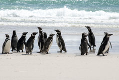 Falkland Islands - Magellanic Penguins On The Beach Royalty Free Stock Image