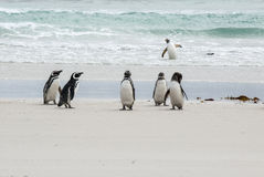 Falkland Islands - pingüinos Fotos de archivo libres de regalías