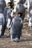 Falkland Islands - rey Penguin Fotografía de archivo libre de regalías