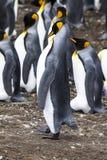 Falkland Islands - rey Penguin - orgulloso Foto de archivo