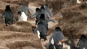 Falkland Islands, Rockhopper Penguins running uphill stock video