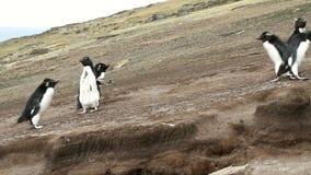 Falkland Islands, Rockhopper Penguins running uphill stock video footage
