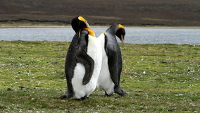 Falkland Islands, two King Penguins. Falkland Islands, King Penguins cleaning their feather stock video footage