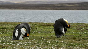 Falkland Islands, two King Penguins. Falkland Islands, King Penguins cleaning their feathers stock video footage
