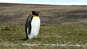 Falkland Islands, two King Penguins standing together. Falkland Islands, King Penguins, best friends stock video
