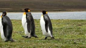 Falkland Islands, two King Penguins. Falkland Islands, King Penguins wandering aroung stock video footage