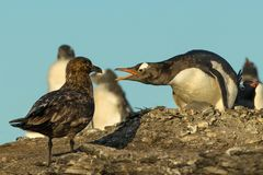 Falkland Skua attacking Gentoo penguin and a chick Royalty Free Stock Image