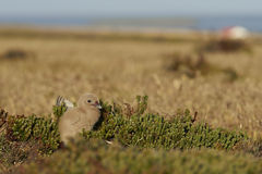 Falkland Skua chick - Falkland Islands Stock Images