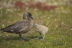 Falkland Skua e pintainho adultos Fotos de Stock Royalty Free