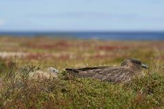 Falkland Skua e pintainho adultos Imagem de Stock Royalty Free