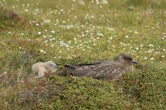 Falkland Skua e pintainho adultos Foto de Stock