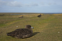 Falkland Skua - Falkland Islands Stock Photo