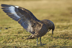 Falkland Skua - Falkland Islands Royalty Free Stock Photography