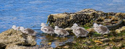 Falkland Steamer Duck chicks at water's edge with trash and pollution, seaweed, and muscles, Falkland Islands royalty free stock image