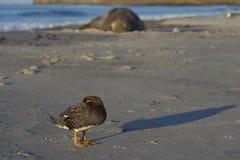 Falkland Steamer Duck dans Falkland Islands Image stock