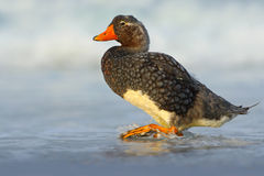 Falkland Steamer Duck, Tachyeres brachypterus, bird in the water with waves. Bird in the nature sea habitat. Bird walking in the w Stock Photo