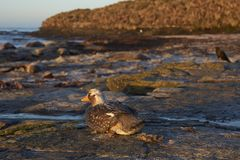 Falkland Steamer Duck in the Falkland Islands Royalty Free Stock Photo