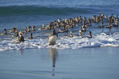 Falkland Steamer Ducks coming ashore Royalty Free Stock Images
