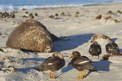 Falkland Steamer Ducks dans Falkland Islands Photos libres de droits
