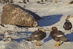 Falkland Steamer Ducks dans Falkland Islands Photographie stock