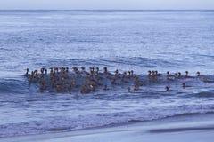Falkland Steamer Ducks en mer Images stock