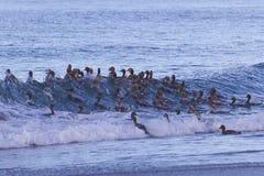 Falkland Steamer Ducks en mer Image libre de droits