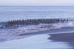 Falkland Steamer Ducks en mer Photo stock