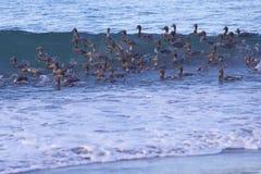 Falkland Steamer Ducks en mer Photographie stock