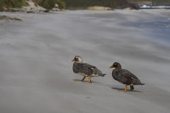 Falkland Steamer Ducks - Falkland Islands Royalty Free Stock Photos