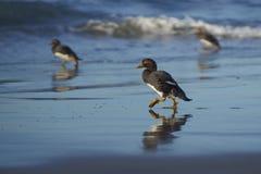 Falkland Steamer Ducks sur la plage Images libres de droits