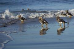 Falkland Steamer Ducks sur la plage Photos stock