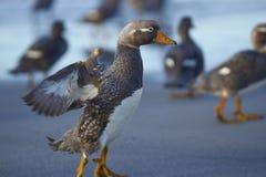 Falkland Steamer Ducks sur la plage Photo stock