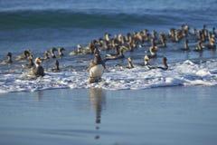 Falkland Steamer Ducks venant à terre Images libres de droits