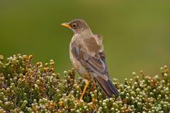 Falkland Thrush Turdusfalcklandiifalcklandii, musklerfågel med mat för youngs som sitter på stenen, djur i naturvanan arkivbilder