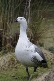 Falkland Upland Goose. Or Greater Magellan Goose - Chloephaga picta leucoptera Male from Falkland Islands royalty free stock image