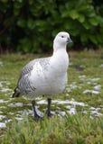 Falkland Upland Goose. Or Greater Magellan Goose - Chloephaga picta leucoptera Male from Falkland Islands stock photos