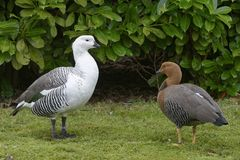 Falkland Upland Goose. Or Greater Magellan Goose - Chloephaga picta leucoptera Pair from Falkland Islands stock photography