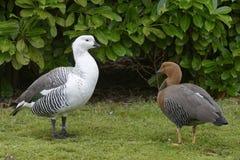 Falkland Upland Goose fotografia de stock