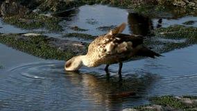 Falkland wyspy, Czubata kaczka zdjęcie wideo
