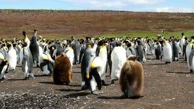 Falkland wyspy, królewiątko pingwiny zbiory