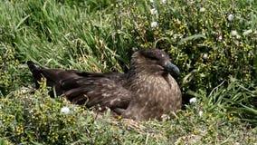 Falkland wyspy, wydrzyk zbiory