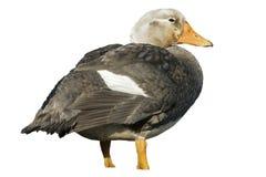 Falklands flightless streamer duck, Tachyeres brachypterus Royalty Free Stock Photos