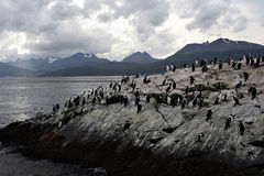 Falklands Penguins royalty free stock photography