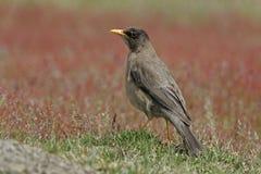 Falklands thrush, Turdus falcklandii falcklandii Royalty Free Stock Image